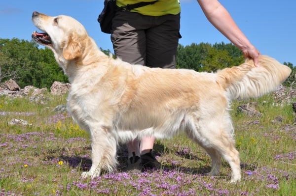 Golden Retriever vom Ahornhof